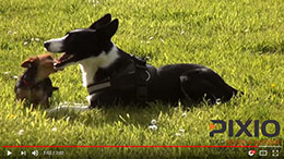 Dog Agility filmed by PIXIO robotic cameraman